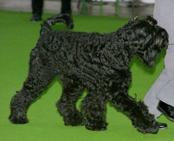 Giant Schnauzer with undocked tail (tentative identification)
