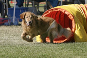 Most Goldens enjoy active entertainment, such as dog agility.