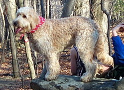 Goldendoodles' appearance can vary; this is a one-year-old example.