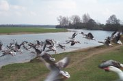 Greylag Geese flying.