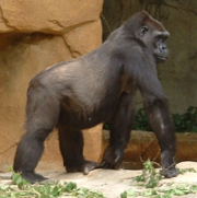 Gorilla at the Cincinnati Zoo