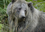 Female grizzly bear in Yellowstone National Park, U.S.A.