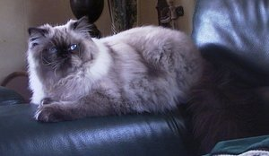 Side view of a Himalayan cat