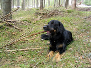 A Hovawart dog in a forest.