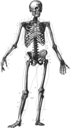 An old diagram of a male  human skeleton
