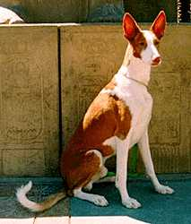Podenco Ibicenco, or the Ibizan Hound, believed to have originated in Ancient Egypt, may actually be a more recent breed.