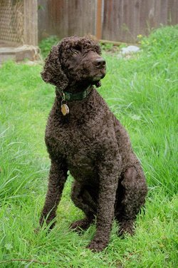 Irish Water Spaniel At Animal Gifts Galore