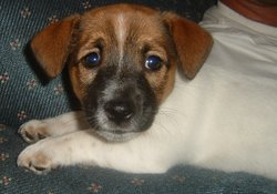 A young Australian Jack Russell