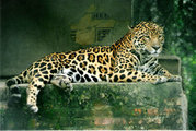 A Jaguar in a wildlife rescue & rehabilitation centre in Argentina