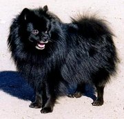 black German Spitz