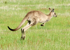 A Young Eastern Grey Kangaroo in Motion