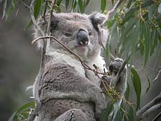 Koala in Manna Gum forest, southern Victoria.