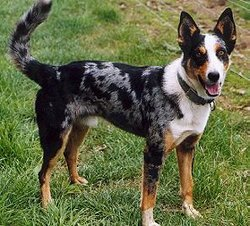 A short-coat tri-merle Koolie