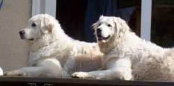 A pair of Kuvasz