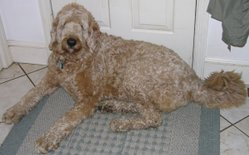The appearance of Labradoodles varies.