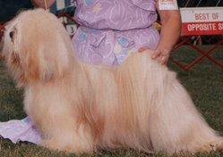 A male golden Lhasa Apso
