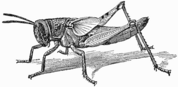 Nymph of Locust (Schistocera americana) with distinct wing-rudiments