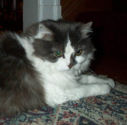 A grey and white domestic longhaired cat