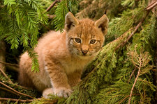 Lynx kitten in trees.