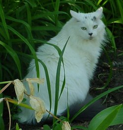 A white Maine Coon