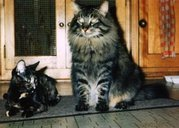 A brown mackerel tabby colored Maine Coon adult male (right) next to an average sized adult mixed breed female