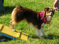 Mini Aussie dressed up and showing off its agility contact-zone skills
