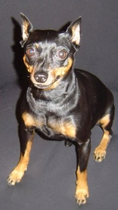 A Miniature Pinscher with cropped ears