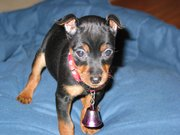 A Miniature Pinscher puppy