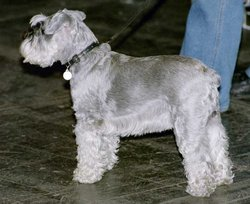 Miniature Schnauzer with silver coat.