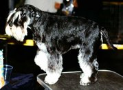 Black Miniature Schnauzer with silver markings
