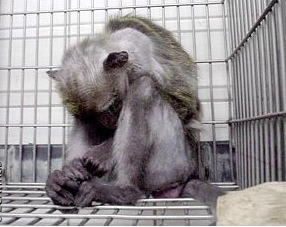 A macaque sits in a cage in a German laboratory. [1]