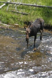 A moose crossing a river.