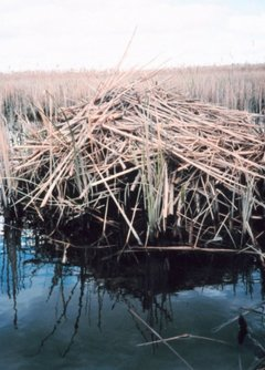 Muskrat lodge, middle Patuxent River marsh, Maryland