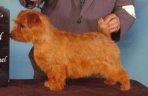 A Norfolk Terrier at a Dog show