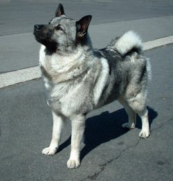 Norwegian Elkhound showing the standard tightly curled tail