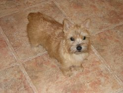 Norwich Terriers can be red, wheaten, black and tan, or grizzle (red and black hairs intermixed).