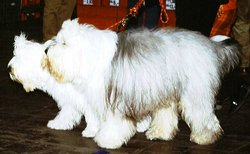 Pair of Old English Sheepdogs