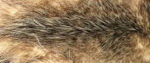 Opossum fur is quite soft, and was once commonly used in coats.