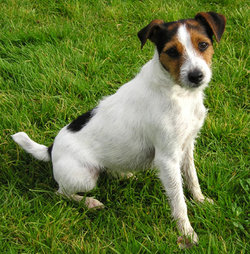 The Parson Russell usually has longer legs than the Jack Russell.