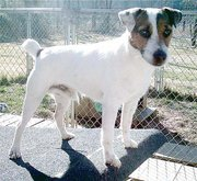 Another Parson Russell Terrier.