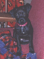 Black Patterdale Terrier puppy at 9 weeks.