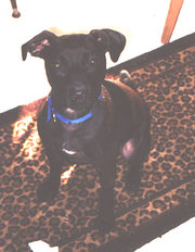 Chocolate Patterdale Terrier Adult