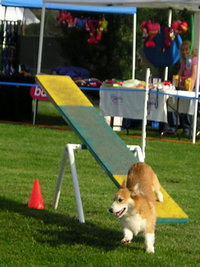 Sable Pembroke doing agility teeter-totter