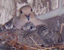 Nestlings and mother Mourning Dove