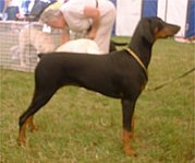 Doberman Pinscher (Dobermann)
