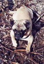 The demeanor of a Pug ranges from expressive and playful to calm and warm.