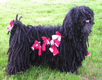 Black Puli with cords tied up to avoid collecting twigs and dirt