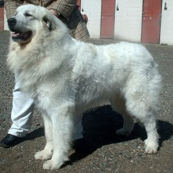 The Pyrenean Mountain Dog is one of the large breeds