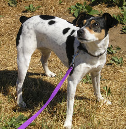 Tricolor Rat Terrier; note pale black ticking on white coat