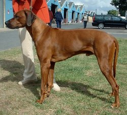 The Rhodesian Ridgeback is the only breed besides the Thai Ridgeback with a ridge of fur along the spine.